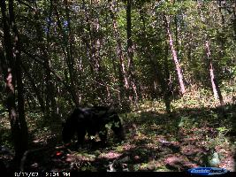 Another bear caught on trail cam